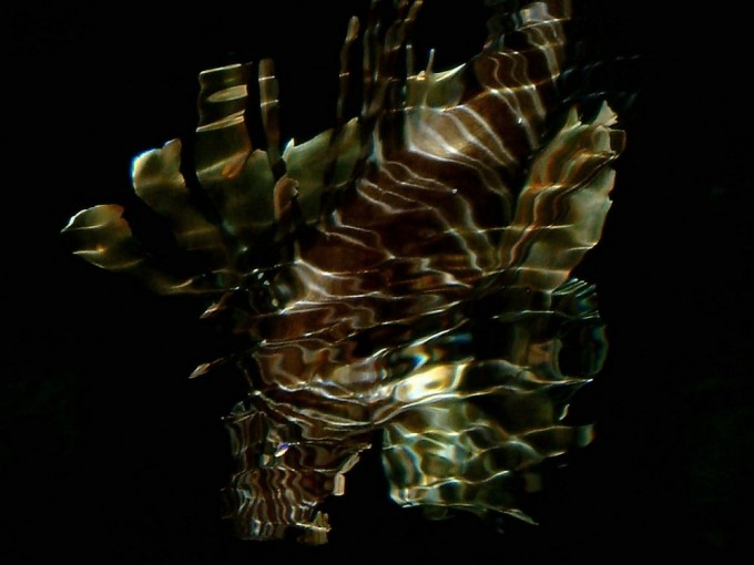Lionfish voraciously hunting at night- fascinating, yet devastating