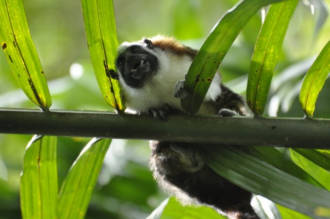 Was this Geoffrey's Tamarin grimacing at us or something else in the underbrush?