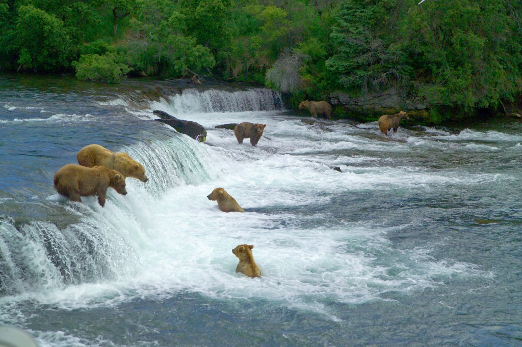 You can watch a live feed of Brooks Falls here and see salmon jumping and bears fishing, or you can walk right up to it!