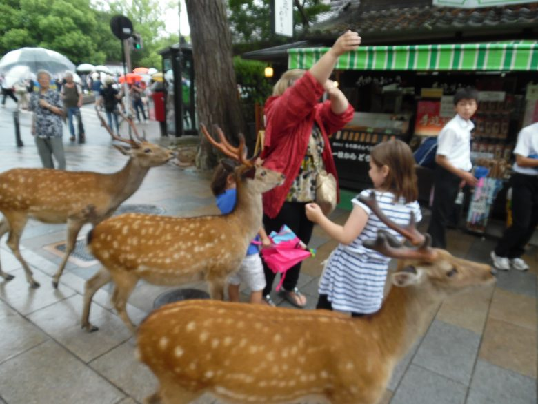 The deer of Nara and famous- and not shy!