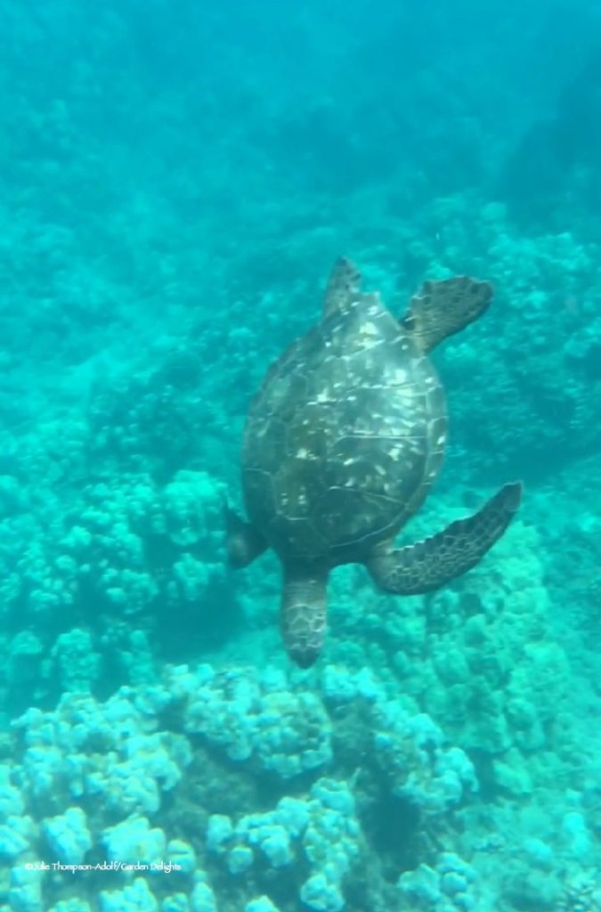 Westin Maui vs Sheraton Maui: If you want to walk out to snorkel, the Sheraton is for you.