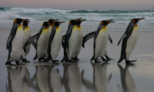 Penguins in the Falklands