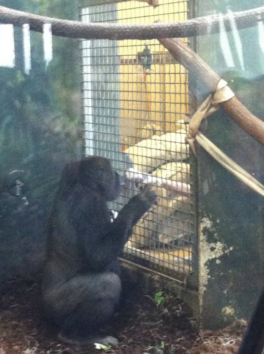 Gorilla Enrichment- aka snack time