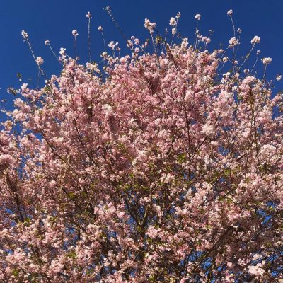 The Best Place to See Cherry Blossoms in DC is Not Where You Think